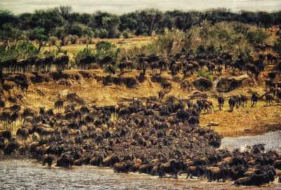 Bufalos en Masai Mara